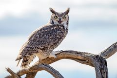 Free Great Horned Owl Close Up Stock Images - 110501294