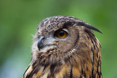 Great Horned Owl Close Up Stock Photos