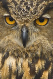 Great Horned Owl Close Up stock image