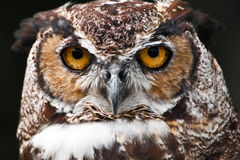Great Horned Owl. A close up of a Great Horned Owl royalty free stock images