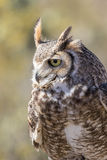 Great Horned Owl Close Up Royalty Free Stock Image