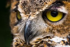 Great Horned Owl close up of face royalty free stock images