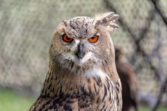 Great horned owl head close-up stock image