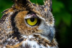 Great Horned Owl close up lookng to the right royalty free stock photos
