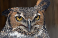 Great horned owl closeup Royalty Free Stock Images