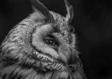 Sleepy owl. Close up of a sleepy owl Stock Photo