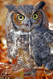 Great Horned Owl in Colorful Fall Leaves Stock Photo