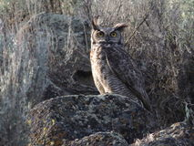 Great Horned Owl in the Daytime Stock Photos