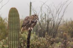 Great Horned Owl in the Desert Stock Image