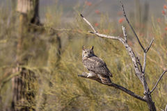 Great Horned Owl in Desert Stock Photo