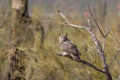 Great Horned Owl in Desert Stock Photo
