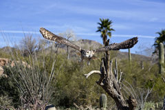 Great Horned Owl displays amazing wing spread Royalty Free Stock Images