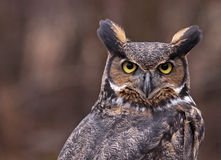 Free Great Horned Owl Ears Stock Image - 31115241