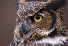 Great Horned Owl Eye Stock Photography