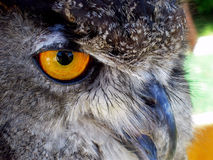 Great Horned Owl face Royalty Free Stock Images