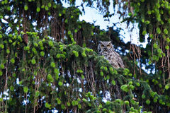 Great Horned Owl Family Royalty Free Stock Photos