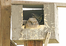 Great Horned Owl family in nesting box. Royalty Free Stock Photo