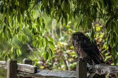Great Horned Owl on a fence Stock Photo