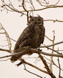 Great Horned Owl Fierce Look. A Great Horned Owl giving a fierce look on a gray day in Colorado stock photo