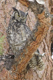 Great horned owl in fir tree. Great horned owl sitting in a fir tree Royalty Free Stock Photography