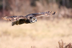 Great Horned Owl In Flight Stock Images