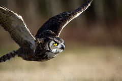 Great Horned Owl In Flight. Closeup of a Great Horned Owl in flight Royalty Free Stock Photo
