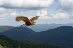Great horned owl in flight. Great horned owl flying in the Laurentian mountains royalty free stock photo