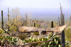 Great Horned Owl in Flight royalty free stock images