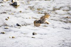 Great Horned Owl Flight Across the Water royalty free stock photo