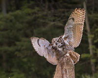 Great Horned Owl in flight; Canadian Raptor Conservancy Royalty Free Stock Image