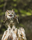 Great Horned Owl in flight; Canadian Raptor Conservancy. Great Horned Owl with mouth agape Stock Photo