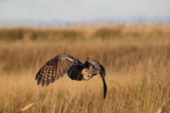 Great horned owl in flight Stock Photo