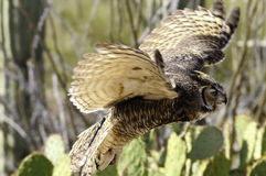 Great horned owl in flight, wings showing motion Stock Photography