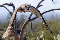 Great horned Owl Stock Photos