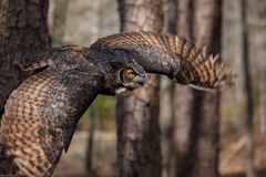 Great Horned Owl. A Great Horned Owl flying through a North Carolina forest Stock Images
