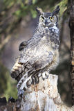 Great horned Owl in forest Royalty Free Stock Images