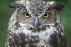Great horned owl. This great horned owl has got it& x27;s eyes on you Royalty Free Stock Photos