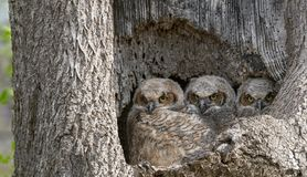 Great Horned Owl. Nesting in a tree royalty free stock images