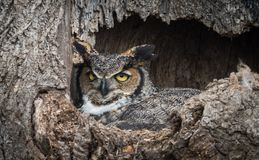 Great Horned Owl. Nesting in a tree royalty free stock photos