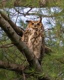 Great horned owl. Perching on pine tree stock images