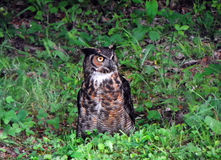 Great Horned Owl ground feeding Stock Images