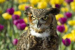 Great Horned Owl Head and Shoulders Royalty Free Stock Photo