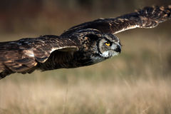 Great Horned Owl Hunting stock photography