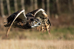 Great Horned Owl In Flight Stock Photography