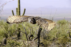 Great Horned Owl In Flight Showing Wing Motion Stock Photos