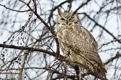 Great Horned Owl with an Injured Eye Stock Photos