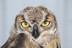 Great Horned Owl. The intensity in the eyes of this owl is remarkable. Gentle yet fierce, these majestic creatures are awe-inspiring royalty free stock photos