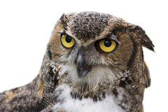 Great Horned Owl Isolated Stock Images