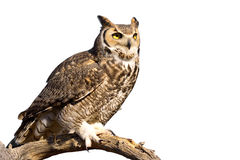 Great Horned Owl. Isolated on white background royalty free stock photos