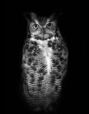 Great horned owl, known by its scientific name Bubo virginianus, isolated on dark background in black and white. High contrast black and white of a great horned royalty free stock photography